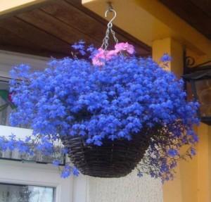 Кашпо с цветущей лобелией