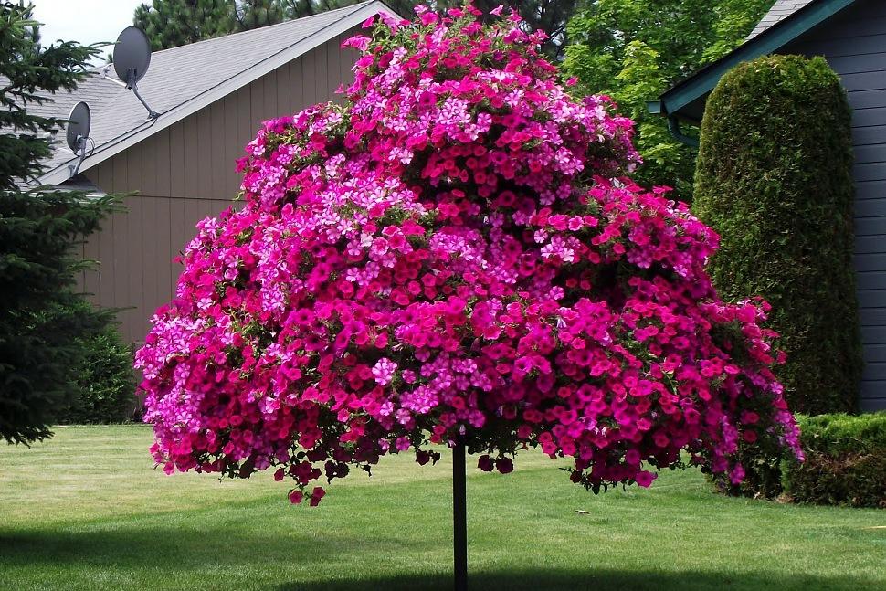 petunia-tree