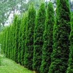 Как сделать живую изгородь