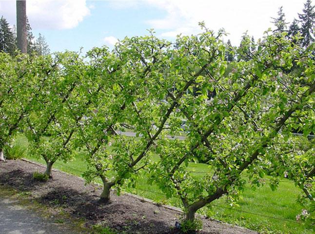 Изгородь плодовые деревья